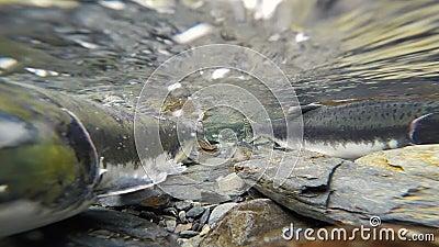 产生清楚的冰川小河动物野生生物的野生和平的桃红色三文鱼