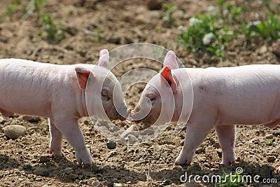 亲吻猪图片