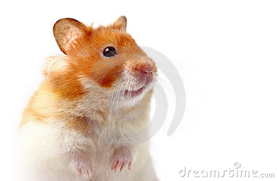 仓鼠lara
