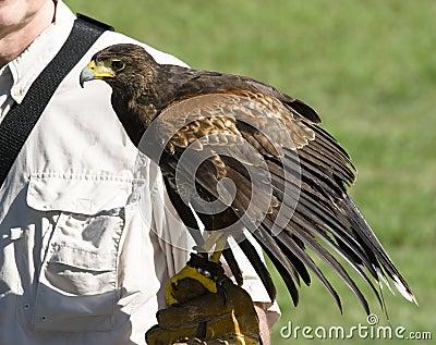 以鹰狩猎者