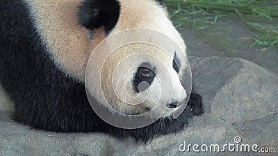 休息大熊猫熊特写镜头,熊猫在石头睡觉在动物园在热的天 股票视频