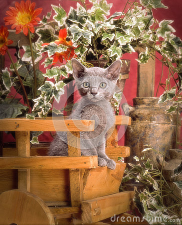 俄国蓝色小猫