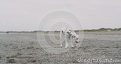 俏丽的小达尔马希亚狗有在使用与一个小球的海滩的乐趣时间,他花费了使用在旁边的高兴 股票视频
