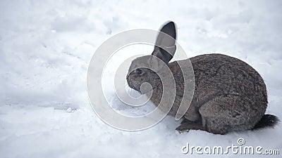兔子通过雪走 股票视频