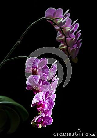 兰花植物。五颜六色的桃红色兰花