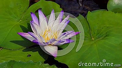 兴旺在农村的池塘的莲花泰国 影视素材