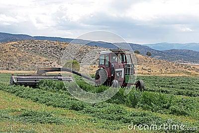 农夫剪切紫花苜蓿干草在夏天