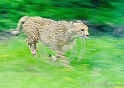 冲刺的猎豹