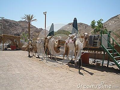 准备徒步旅行队的骆驼
