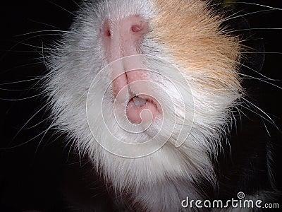 几内亚嘴猪