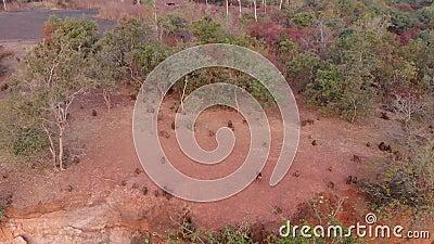 几内亚狒狒在他们的Wassadou的自然生态环境在塞内加尔 影视素材
