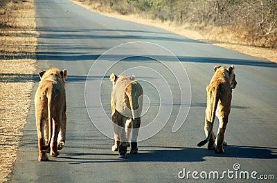 """(原创)南非路上""""塞狮子""""? - 六一儿童 - 译海拾蚌"""