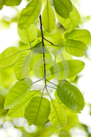 download 印度榕树叶子 库存图片.图片