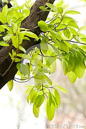 印度榕树叶子图片