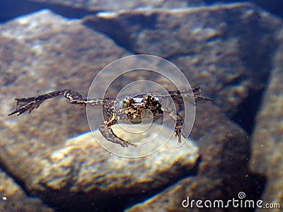危险的青蛙约翰有腿的山山muir内华达拍摄了山脉游泳线索黄色.图片