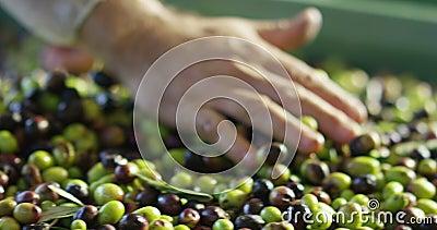 厨师接触橄榄