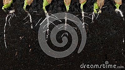 发芽南瓜籽根源与根的地下vew 股票视频