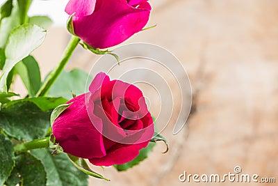 在花瓶的桃红色玫瑰在木背景.