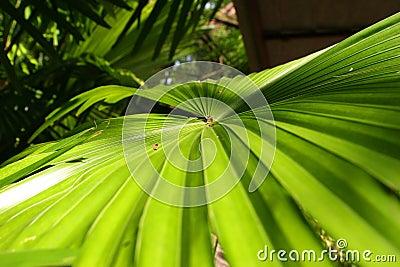 叶子棕榈树图片
