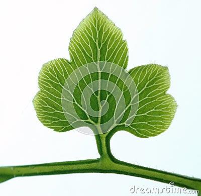 叶子结构树
