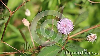 含羞草pudica桃红色花