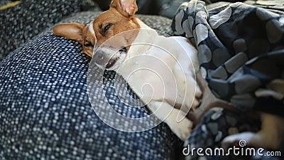 哀伤的狗在床上睡觉在毯子下 股票视频