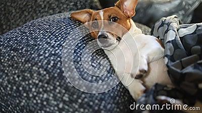 哀伤的狗在床上睡觉在毯子下 股票录像