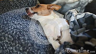 哀伤的狗在床上睡觉在毯子下 影视素材