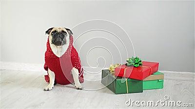品种的狗在驯鹿衣服的拖把 穿一件红白的毛线衣的狗,坐在礼物旁边 快活的圣诞节 股票录像