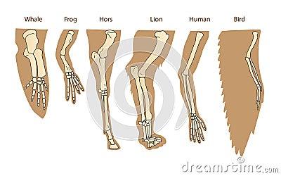 哺乳动物结构前肢 人的胳膊 狮子前肢 鲸鱼前面鸭脚板图片