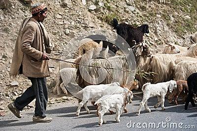 西藏-有他的牧群的牧羊人- tsetang 他的绵羊牧羊人 山羊牧羊人 驴他