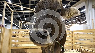 嚼干草的母牛 特写镜头 影视素材