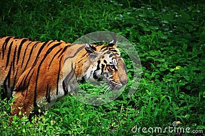 四处寻觅老虎