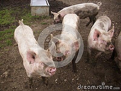 四头猪图片