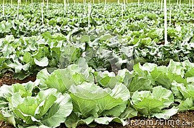 圆白菜和硬花甘蓝的种植园在菜园里.图片