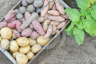 土豆品种 库存照片 - 图片: 42333674图片