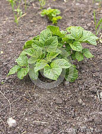 生长在土壤的年轻土豆植物.图片