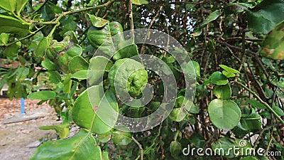在佛手柑树的香柠檬与bergomot叶子 股票录像