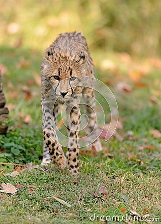 在四处寻觅的猎豹
