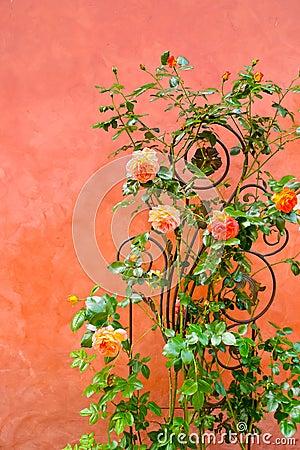 在墙壁上的玫瑰