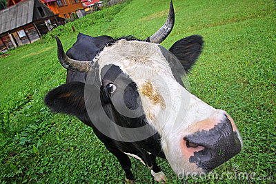 在夏天牧场地的母牛