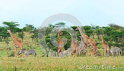 在大草原的野生长颈鹿