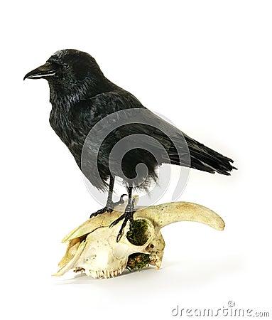 在山羊头骨的少年乌鸦