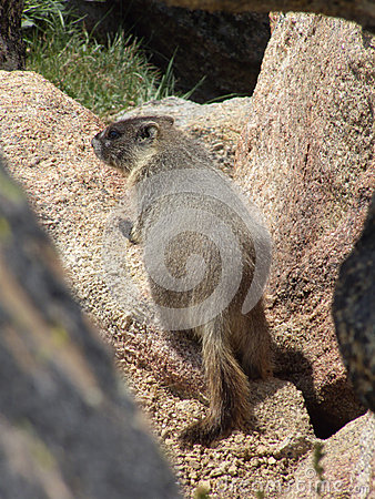 在岩石的土拨鼠