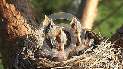 在巢的最近被孵化的小鸡饿和请求与被张开的额嘴的食物 影视素材