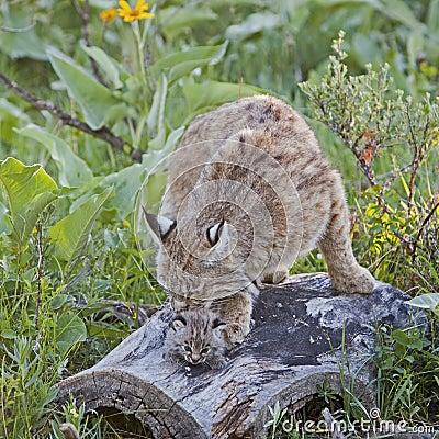 在日志的美洲野猫女性和小猫