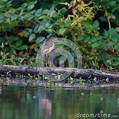 在日志的绿色苍鹭