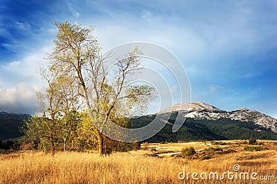 在日落的白杨树