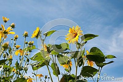 美丽的向日葵和黄色coneheads在早晨晒黑streching对蓝天,低角度射击