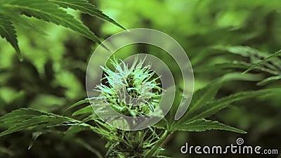 在早期附近的缓慢的运动开花女性大麻植物的